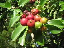 25 graines de GOYAVIER 'APPLE' (Psidium guajava) SEEDS SAMEN SEMILLAS