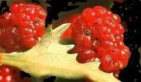 Obst oder Gemüse ? Beides: der ERDBEERSPINAT - lecker und interessant !