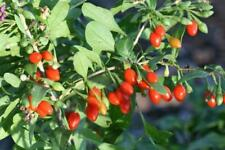 2 Goji Berry Lycium barbarum Live Starter Plant Cutting, Healthy super fruit!!