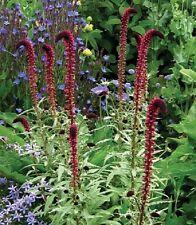 50+ LYSIMACHIA ATROPURPUREA BEAUJOLAIS FLOWER SEEDS / PERENNIAL