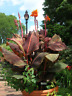 Giant 1 Canna Lily Bulb Fresh Rhizomes Luxuriant Blossoming Garden Home Outdoor