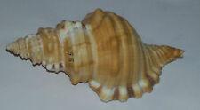 Conchiglia Shell  CYMATIUM  PARTHENOPEUM  mm 127 Opercolato Pescato a 70 80 mt
