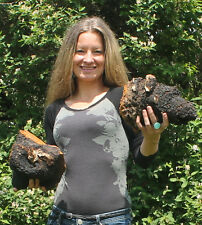 CHAGA 1 LB Large Wild Harvested Chunks Premium 16 oz ~ FAST shipping from Maine
