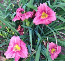 Daylily ROSY RETURNS rose pink Everblooming hemerocallis perennial plant 3+fan
