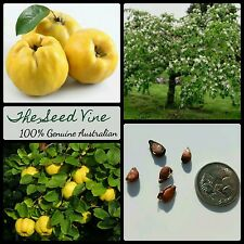10 QUINCE TREE SEEDS (Cydonia oblonga) RARE Exotic Edible Fruit Yellow Tropical