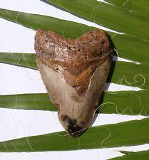 Haifisch Zahn Fossil 220 g Hai 12,0 x 8,0 cm Megalodon HZ101 teeth tooth Haizahn