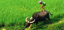XXL-Wasserbüffel im Reisfeld, Hoa Lu, Vietnam