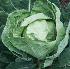CABBAGE Primo II 100 seeds Winter vegetable garden Heirloom green HEALTHY