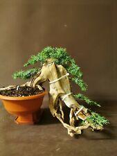 Bonsai tree tanuki needle  juniper photos 14 th June