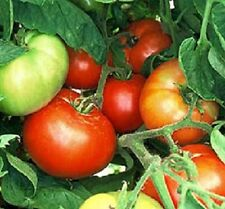 Vegetable Seeds 50 Bush Beefsteak Tomato Seeds
