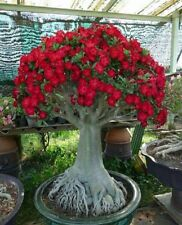!!!!PERFECT CHRISTMAS GIFT!!!! 2 Red Desert Rose (Adenium obesum)