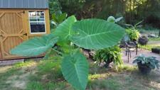 LIVE BULBS Leucocasia gigantea Laos Giant Thai Giant Elephant Ear Huge Leaf
