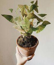 Christia Obcordata Seeds x3 UK Seller Rare HouseplantAMAZING PLANT Bat Grass