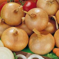 Vegetable Onion Stuttgarter Riesen Giant Appx 1000 seeds 4 grams