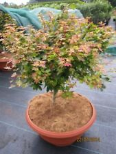Fächerahorn Säulenahorn Acer palmatum Tsukasa Silhouette ® 120cm
