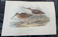 John Gould GREY SNIPE Birds Of Europe. Lithograph 1832-37
