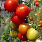 20 Graines /seeds de tomate karos BIO