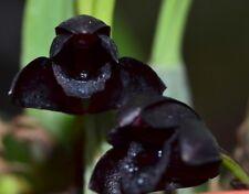 Brasiliorchis schunkeana species Orchid Plant