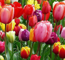 10 Tulip Flower Bulbs-Spectacular Rainbow Mix-All Colors(Pack of 10) Zones:3-8