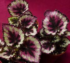 """Begonia Pflanze Harmonie 'Weihnachten NEU 4"""" Kübel Rex"""