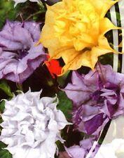 Organic Flower seeds Devil's Trumpet (Datura metel) from Ukraine.