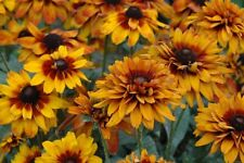 Rudbeckia Hirta Seeds - CHEROKEE SUNSET - Gloriosa Daisy - Perennial - 50 Seeds