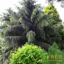 WEEPING SPRUCE Picea Breweriana - 5 SEEDS. FREE S&H