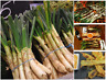 Spring Onion Seeds Scallion LARGE GOURMET Spanish Cebolla
