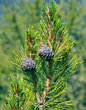 8-10 cm Ötztal 1 Stk Pinus cembra Zirbelkiefer