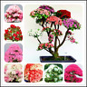 100 PCS Seeds Bonsai Azalea Perennial Flowers Plants Cover Home Garden 2020 NEW