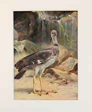 Crested Screamer - Bird Print  1916 Mounted Antique Vintage Colour Lithograph