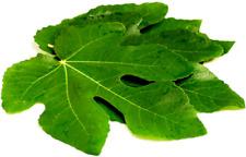 Fig Leaves organic Fresh Dried herb Tea Leaves Pure 200 g