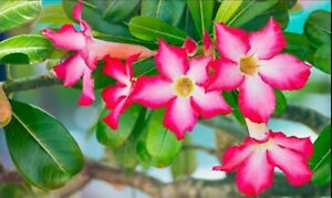 3 Seeds Rare Desert Rose Adenium Obesum Seeds Bonsai Flower Plant
