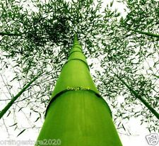 The Giant Moso Bamboo Seeds Garden Plant - 20Pcs - 35% more oxygen than Trees