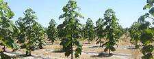 Paulownia Shantong, Rare Hybrid!, Worlds fastest growing hardwood tree! SEEDS