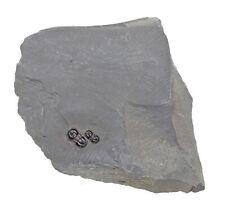 Fossil Trilobite - Itagnostus interstricta - Wheeler Shale, Utah - Double plate
