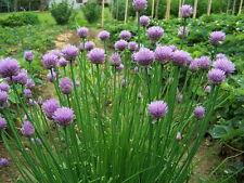 Schnittlauch - Allium schoenoprasum 50+ Samen - AROMATISCH und ERTRAGREICH!
