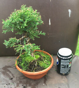 Chinese juniper Bonsai Tree Starter.outside In 6years Actual Tree  25cm