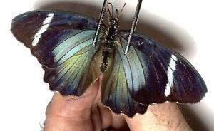 EUPHAEDRA ?, Nymphalidae, Female, 2021-48