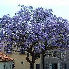 WELL Worlds Fastest Growing 100X Seeds Paulownia Princess Tree Blue Flowers Yard