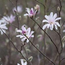 Magnolia Strauchpflanzen mit mittlerem Wasserbedarf
