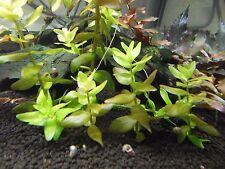 Grand fettblatt Bacopa Caroliniana eau plante * Top-Qualité *