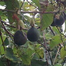 Granadilla Obst Gemüse frisch ernten kletternde robuste Pflanzen für die Wohnung