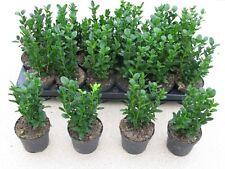 4 x Buxus Sempervirens Evergreen Box Hedging 9cm pot