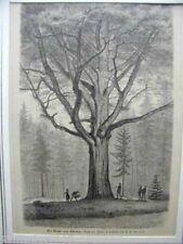 LS1267 Buche von Okrilla bei Meissen Holzstich C F Seidel Holzstich Passepartout