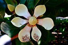 Magnolia Delavayi - Delavay's Magnolia Evergreen - Rare Tropical Tree Seeds (20)