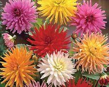 Dahlia Cactus Hybrid Mixed - 25 Seeds - Half - Hardy Perennial