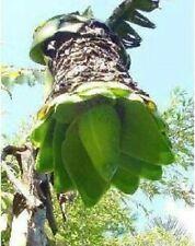Schnee-Banane Ensete Glaucum winterhart schnellwüchsig Exot für den Balkon Deko