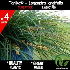 4x Tanika® Lomandra longifolia 'LM300' |  | NEW RELEASE | Tubestock | BULK