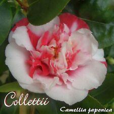 """Kamelie """"Collettii"""" - Camellia japonica - 3-jährige Pflanze"""